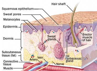 Anatomy of Human Skin